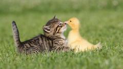 Birds cats animals ducks duckling kittens baby birds wallpapers