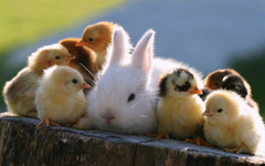 Baby Chickens Hanging Out With A Bunny