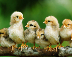 Baby Chick Pictures By Breed Baby Chick Starter