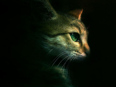 Warrior Cats Forever image dramatic cat 2 HD wallpapers and