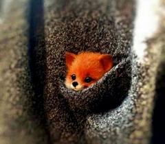 Baby Fox in a Coat Pocket