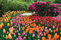 TONS OF TULIPS 3