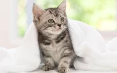 American Shorthair Kitten Wallpapers