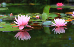 Wallpapers pond background water lilies water Lily image for desktop section