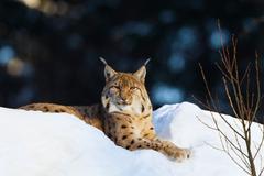 Wallpaper Eurasian Lynx PicPetz