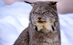 Wildlife Small to Medium Sized Cats Fauna Felidae Canada Lynx HD