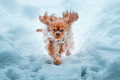 Cavalier King Charles Spaniel Winter