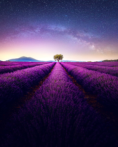 Lavender towne