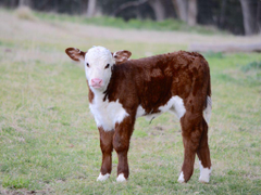 cute red and white calf