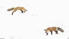 Foxes hunting 1920x1080 Rob Mson
