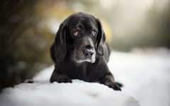 wallpapers black labrador retriever black puppy breed dog pets winter snow for desktop with resolution 1920x1200 High Quality HD pictures wallpapers