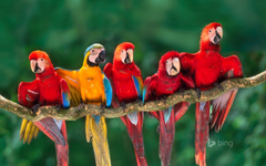 Macaws Tambopata National Reserve Peru