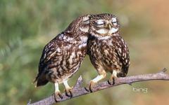 Little Owls Athene noctua Extremadura Spain