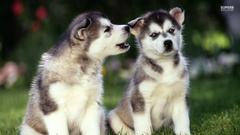 Siberian Huskies image Husky Pups HD wallpapers and backgrounds
