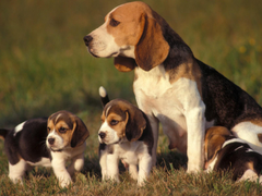 Family beagle dogs Desktop wallpapers 600x382