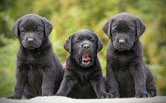 wallpapers black retrievers puppies labradors