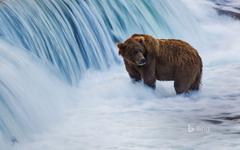 Brown Bear Species