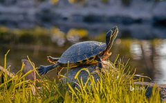 A Male Yellow Bellied Turtle