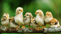 Chickens Wallpapers Image Wallpapers of Chickens in Full HD