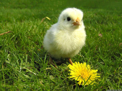 Wallpapers with Chickens