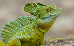 Costa Rica Green Basilisk Lizard Nature id pinterest