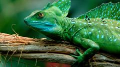 Animals Green Basilisk Lizard desktop wallpapers13