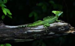 Costa Rica Green Basilisk Lizard eskipaper