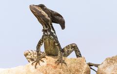 Wallpapers nature lizard Basilisk goodfon