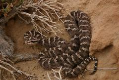 The Gobi pit viper